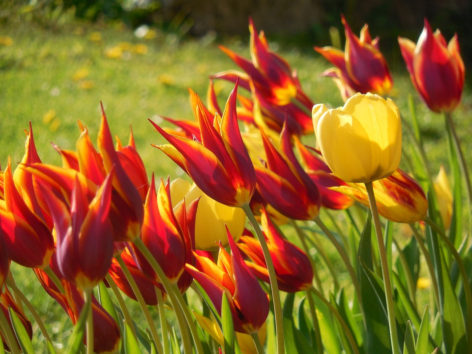 Bulbi da fiore e la loro durata